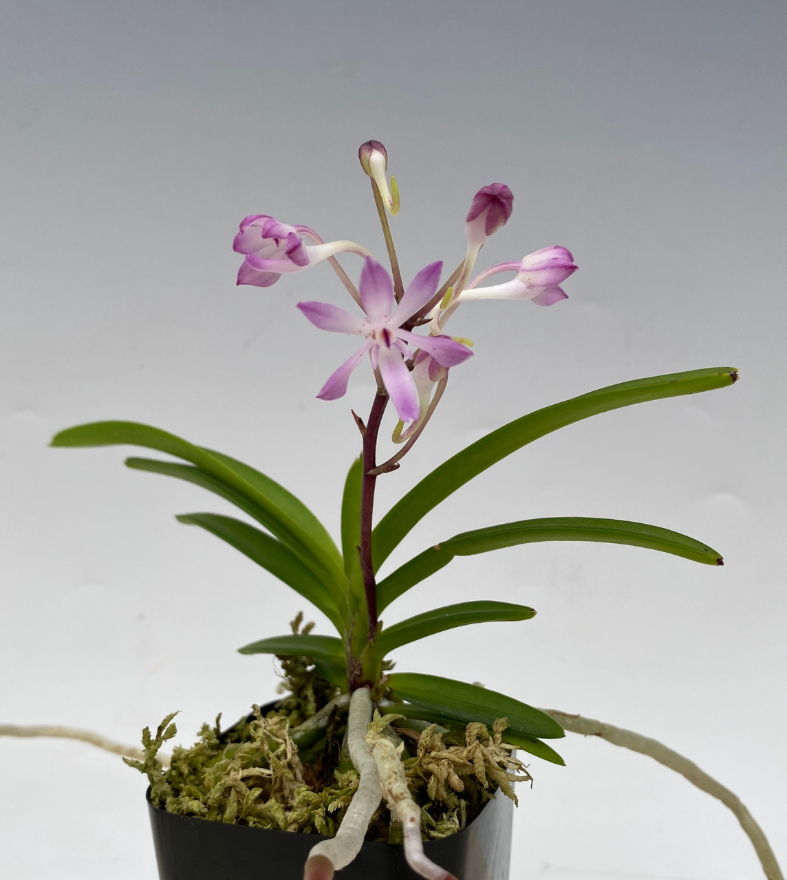 Neostylis Lou Sneary (N. falcata 'Shutennou' x Rhy. coelestis 'Lavender Lupin')