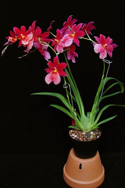intergeneric-orchid-plant.jpg