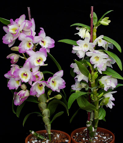 Nobile Type Dendrobium Care
