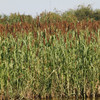 Chiwapa out yields all other millets.