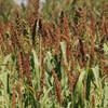 Chiwapa is a high yield grain crop ducks love.