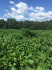 Colossus LJ Forage Soybeans