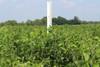 Titan Forage Soybeans