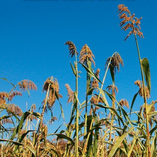 Egyptian Wheat