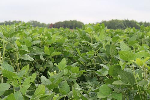Goliath LJ Forage Soybeans
