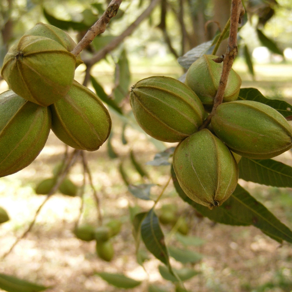 Koinonia Farm Pecans Up Close
