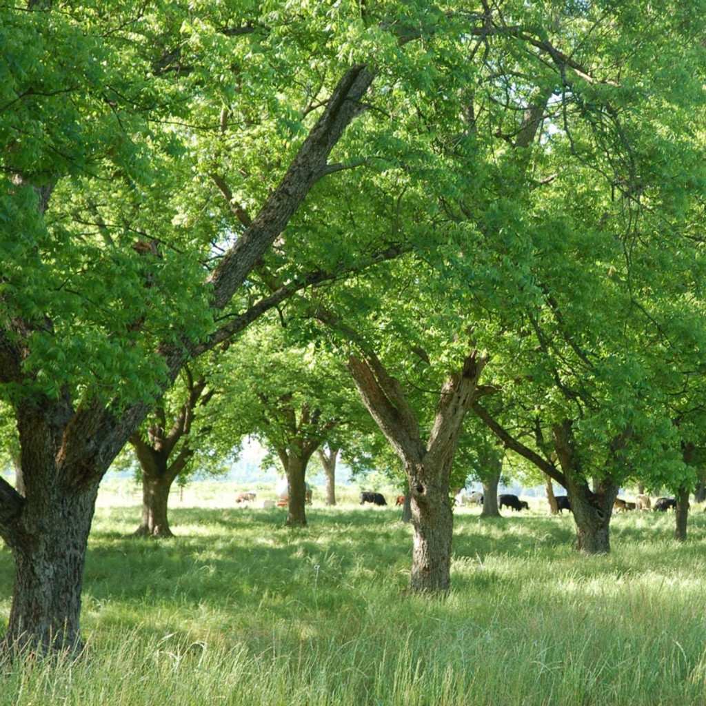 Koinonia Farm Pecan Orchards