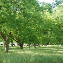 Koinonia Farm Pecan Orchards