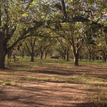 Koinonia Farm Pecan Orchards and Sweeper