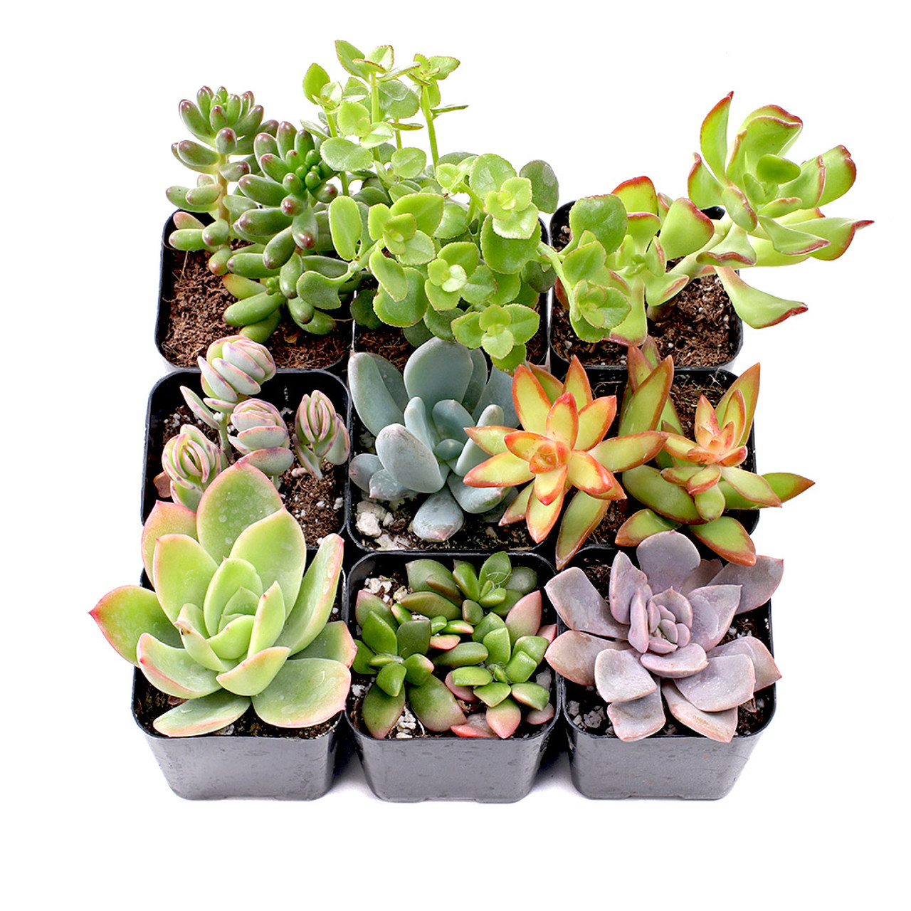 "Hand-Picked Well Rooted 2/"" Beautiful Hen /& Chick Live Succulent Plants 3-Pack"