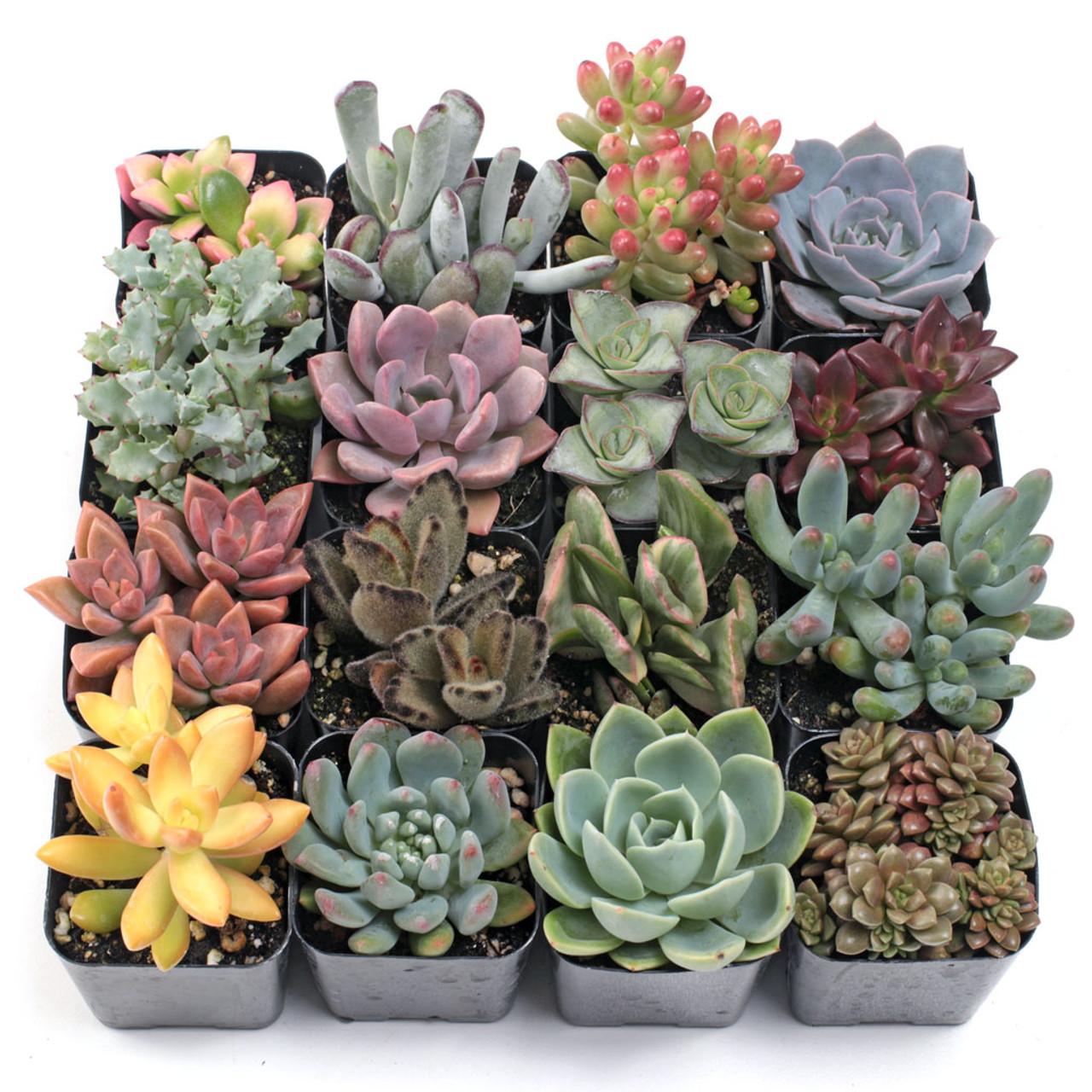 crested succulents beautiful pottery succulents sunshine