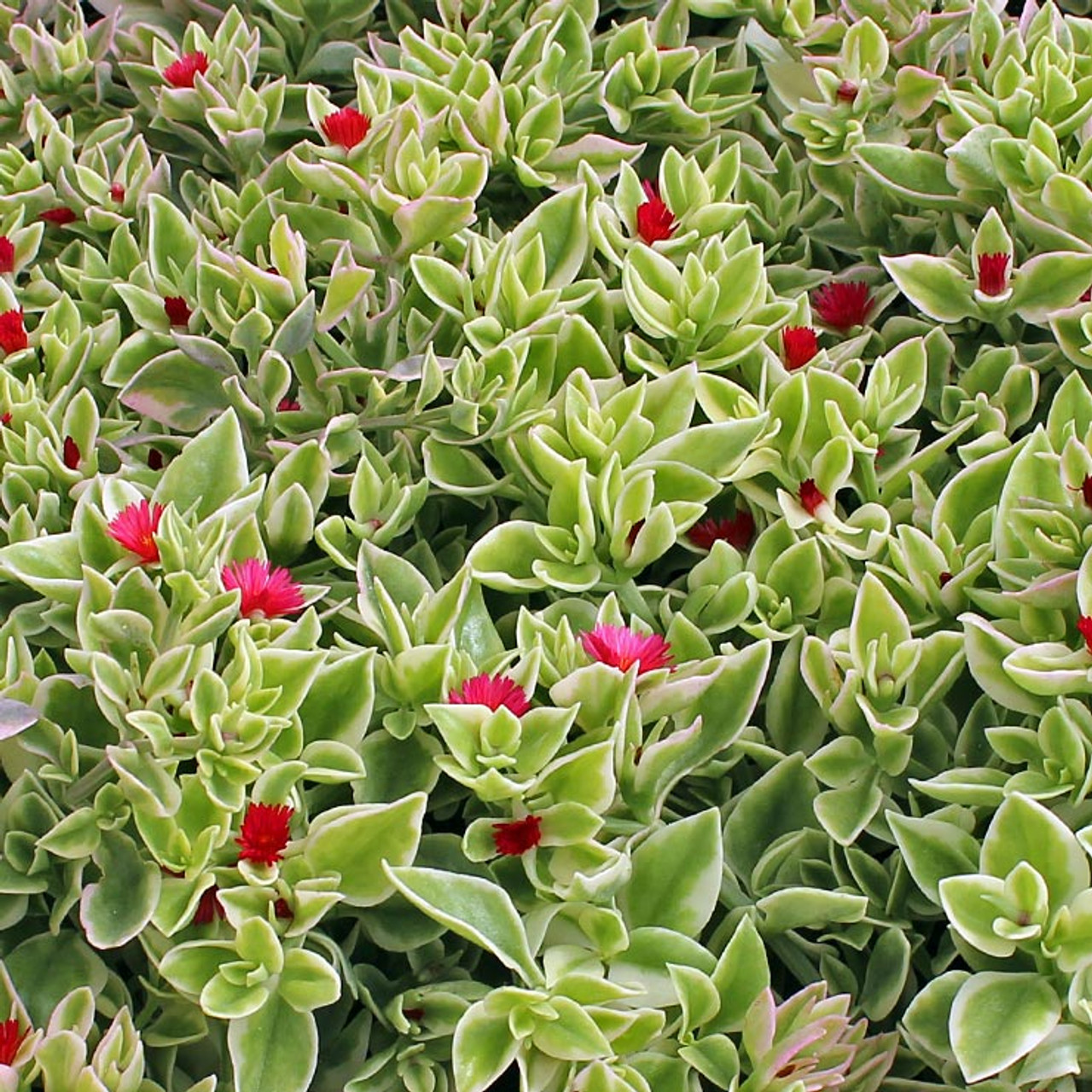 Mesembryanthemum Crystal Heartleaf Ice Plant Mountain Crest Gardens