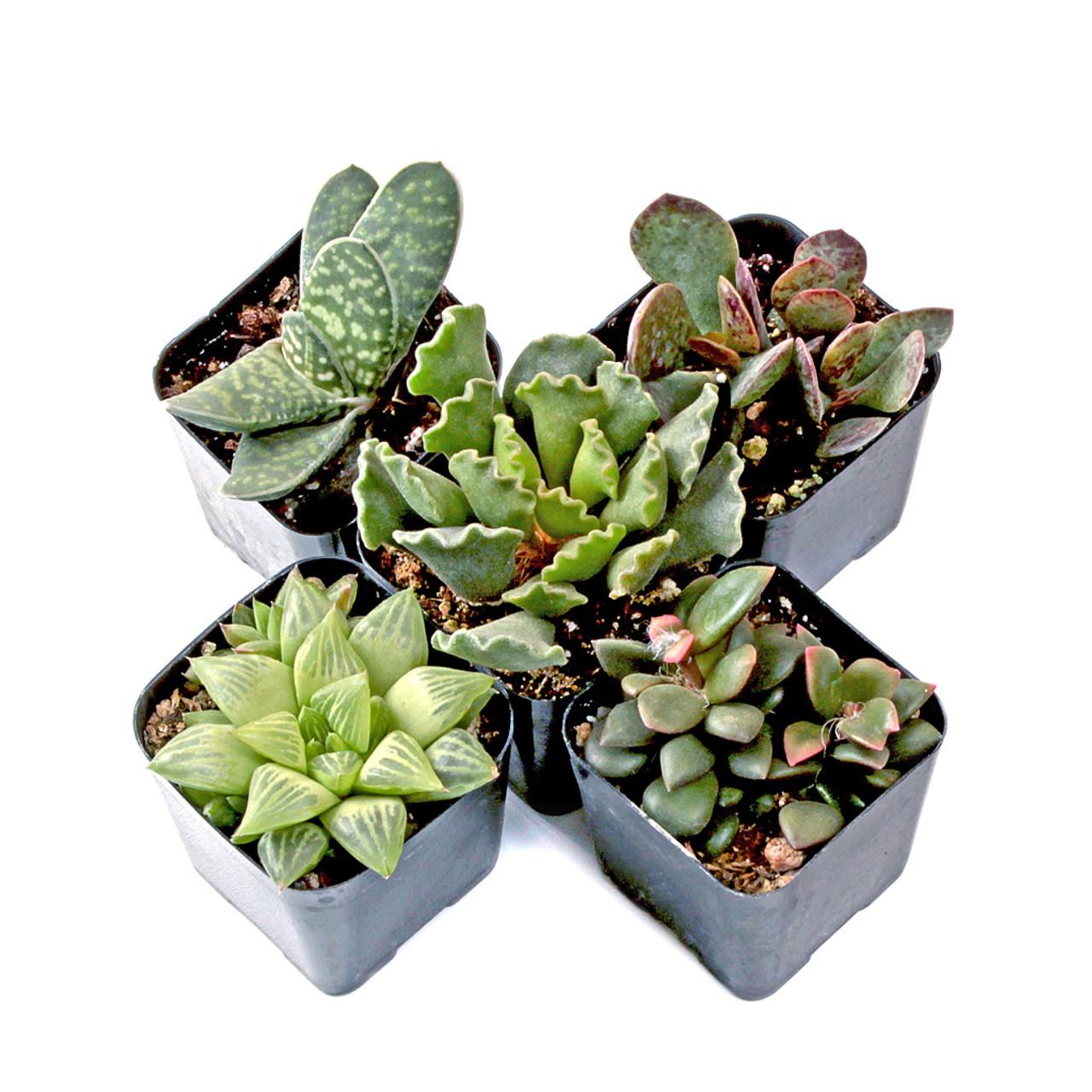 Terrarium Succulent Set Of 5 Mountain Crest Gardens