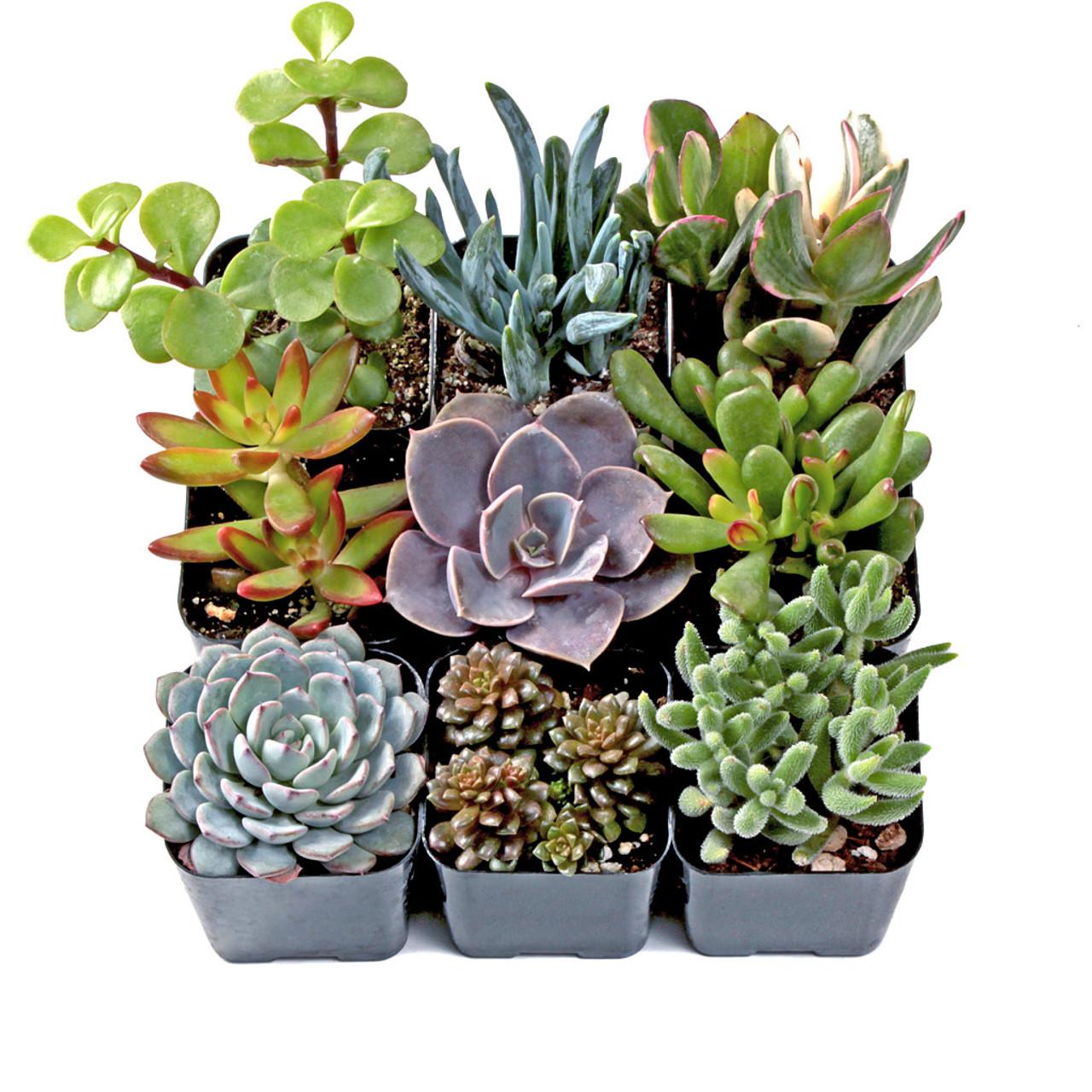 Rock Garden Soft Succulent Set Of 9 Mountain Crest Gardens