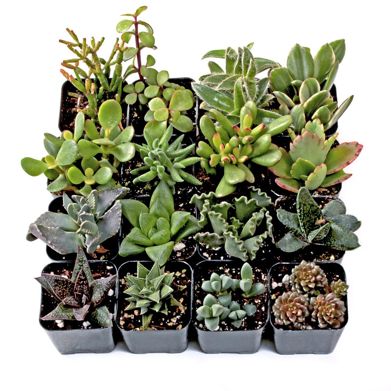 Indoor Succulent Set Of 16 Mountain Crest Gardens