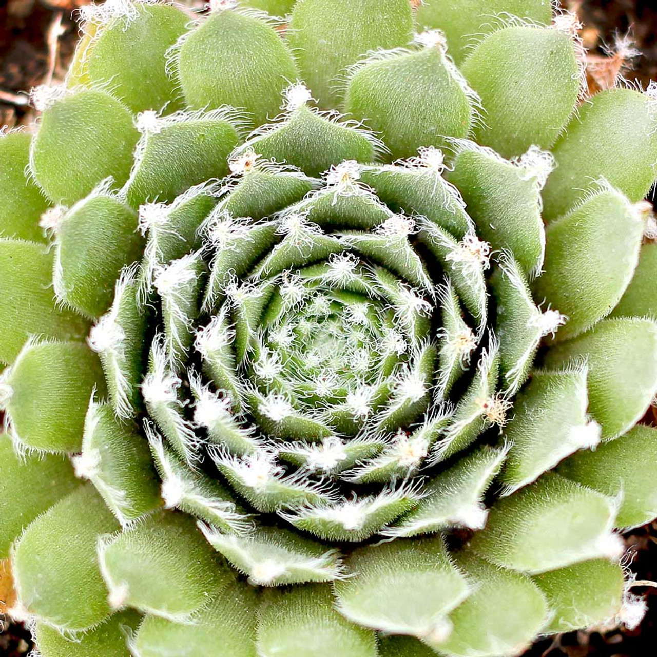 "Picture of 2 (TWO) Hen-and-chicks aka Sempervivum tectorum var. 'Jade Rose' Live Succulent Plant Fit 4"" Pot"