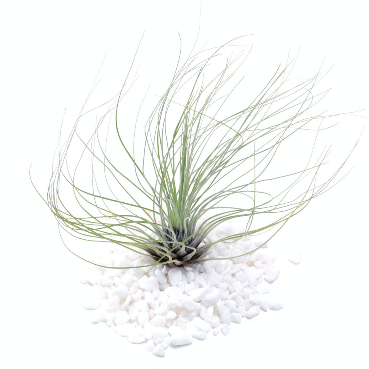 air plant tillandsia filifolia mountain crest gardens Easy Fish Tank Plants air plant tillandsia filifolia