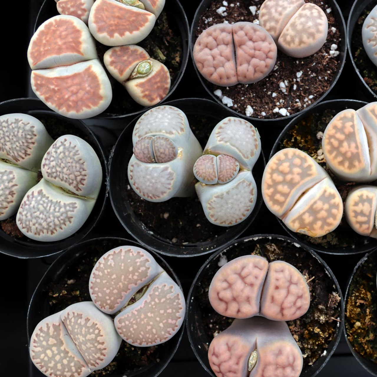 Lithops Living Stones Limited Mountain Crest Gardens