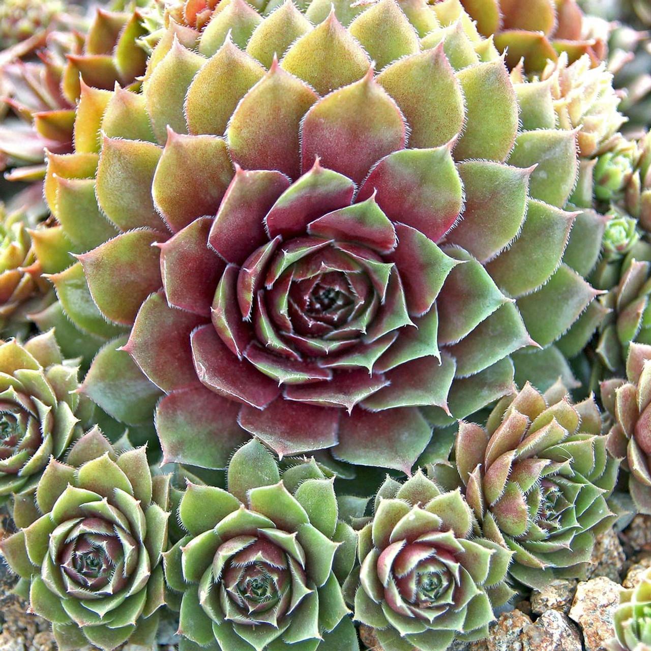 Cold Hardy Sempervivum  Red Rubin Cluster   succulent Plant 4\u201d pot