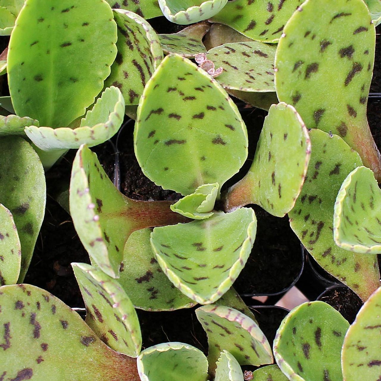 Drought tolerant Kalanchoe Gastonis-bonnieri Donkey Ears hardy,long lasting succulent plant