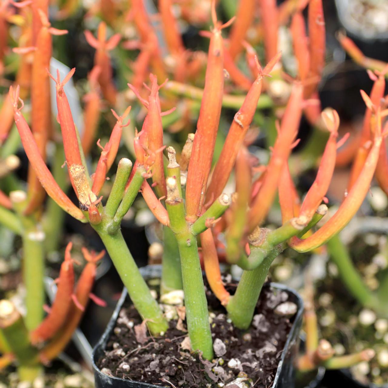 Euphorbia Tirucalli Sticks On Fire Firesticks Mountain Crest Gardens