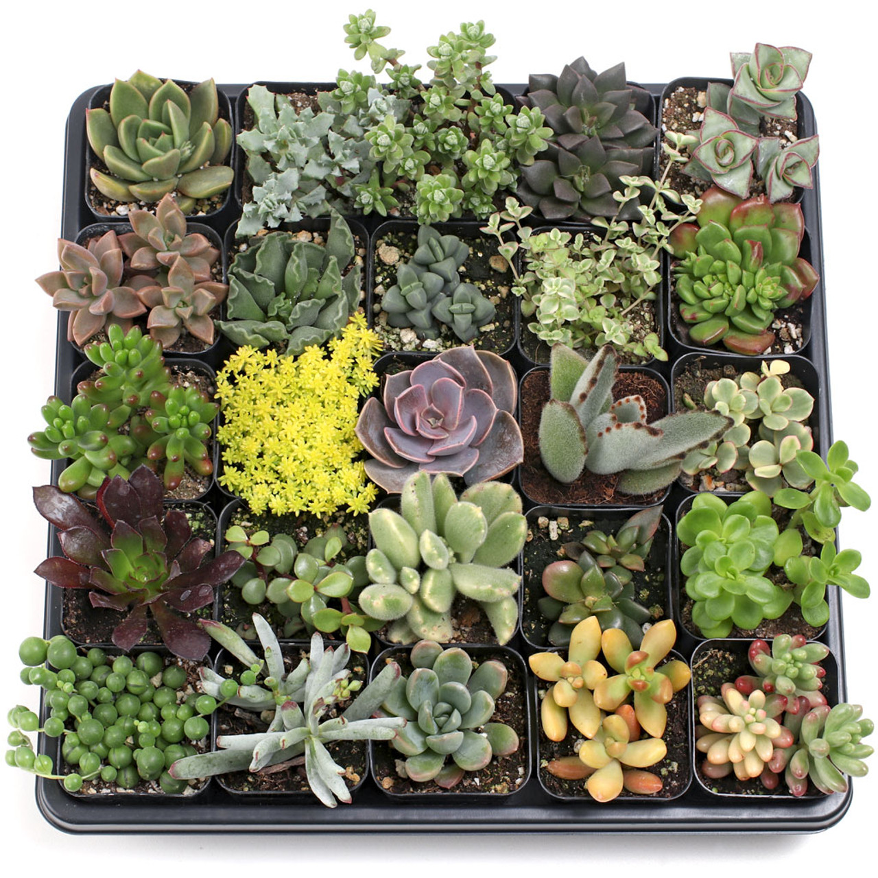 Soft Succulent Tray 2in Containers 25 Varieties 25
