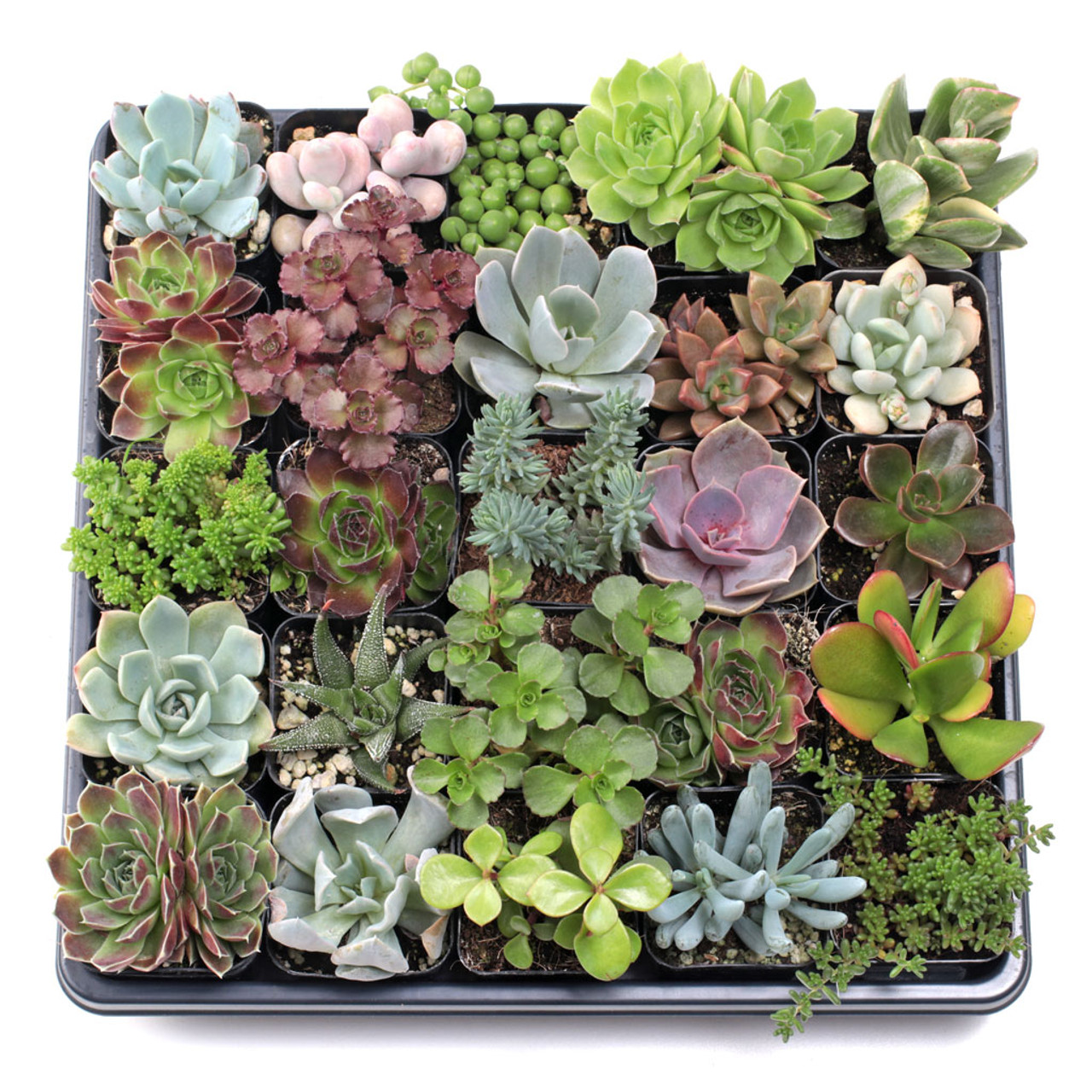 Mcg Super Succulent Sampler Tray 2in Containers 25 Varieties