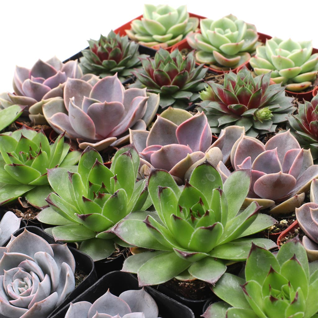 Rosette Succulent Tray 2in Containers 5 Varieties 25