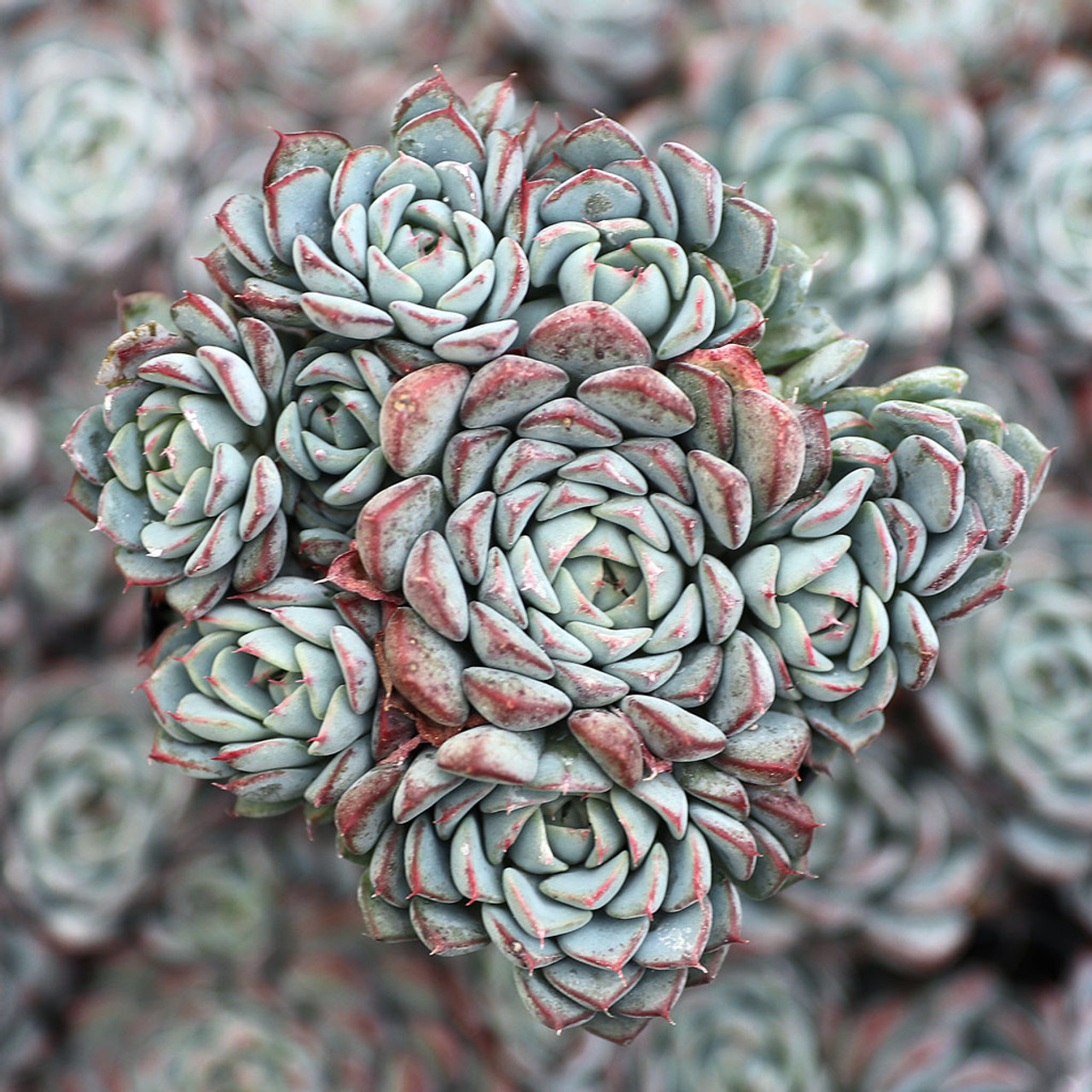 Echeveria Larga Cluster