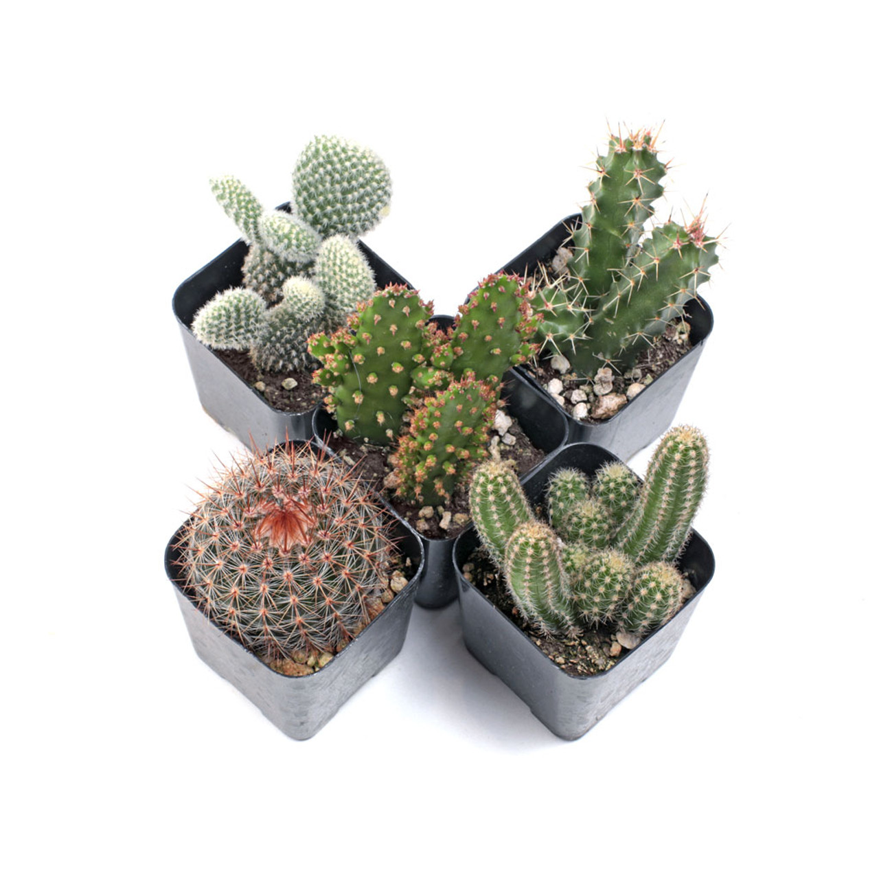 Cacti Set Of 5 Mountain Crest Gardens