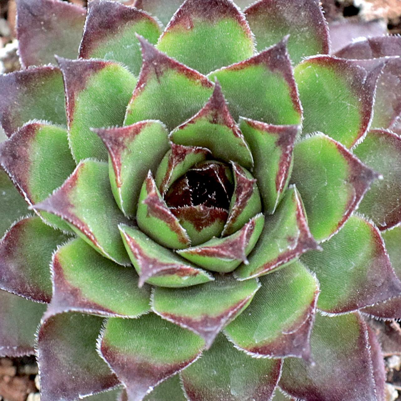Sempervivum /'Bronco/'  live succulent plant