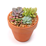 """4.0"""" x 3.75"""" Terracotta Standard Clay Pot w/ Drainage Hole - Planted"""