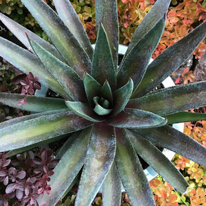 ManGAVE Large PLANT Agave Inkblot Unless You Live In Zone 7 Or Higher.nice Size