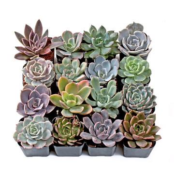 Echeveria Vivian  Rare Succulent  FarmhouseSucculentCo