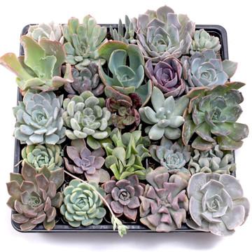 Wholesale Succulent Trays - Bulk Succulents | Mountain Crest Gardens®