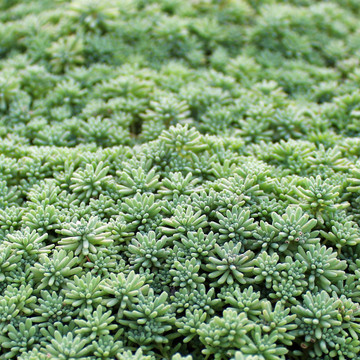 Ground Cover Succulents Mountain Crest Gardens