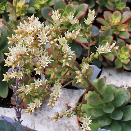 aeonium kiwi shipping issues mountain crest gardens