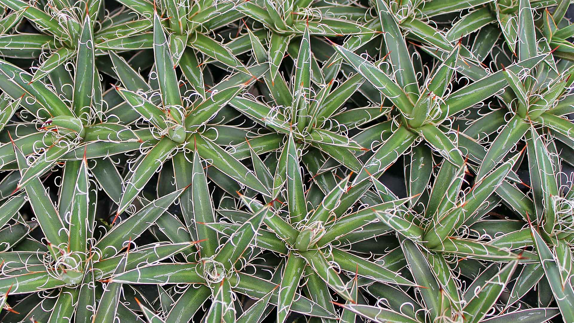 What S The Difference Between Agave And Aloe Mountain Crest Gardens
