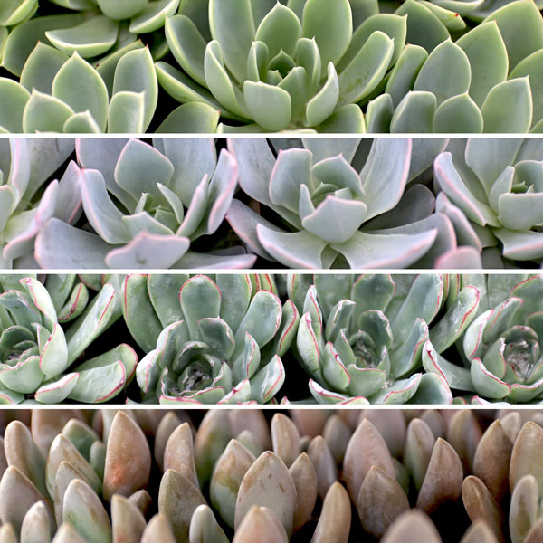 colorful-echeveria.jpg