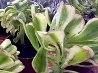 sunburst-curled-leaves.jpg