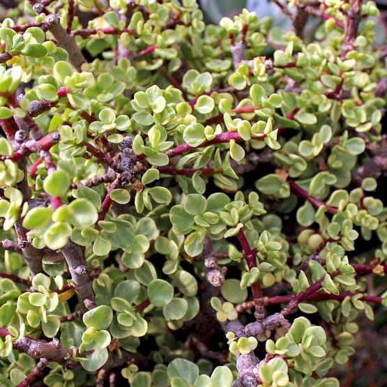 Portulacaria Afra Variegata Rainbow Bush Mini Jade