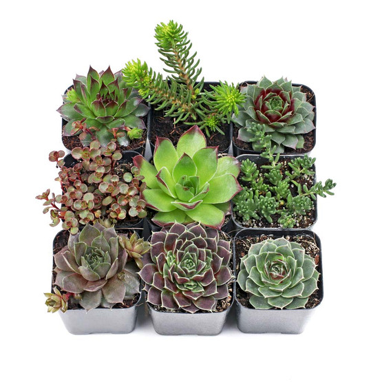 Hen And Chick hardy Plants succulent-zone 3 To 9 Ready Copper Sempervivum