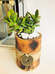 Jade Plant  The Money Magnet