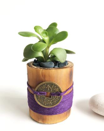Jade Plant in Purple