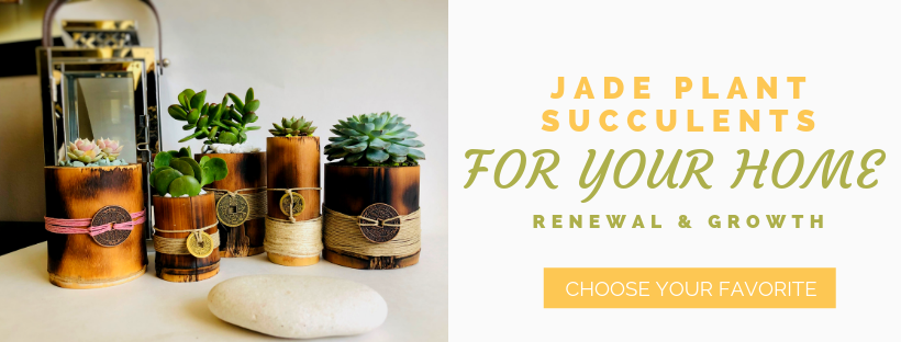 Jade Plant Amp Succulent Meaning And Benefits Unique Feng Shui