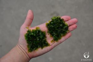 Subwassertang - Freshwater Seaweed