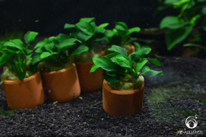 Anubias nana in 3cm Terracotta Pot