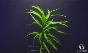 Eicchornia diversifolia