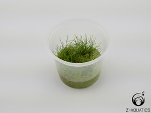 Eleocharis acicularis 'Mini Hair' TC