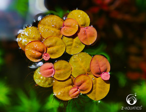 Phyllanthus fluitans - Red Root Floater